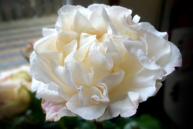 Rolls-Royce Phantom Rose